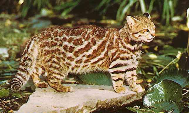 Unfamiliar and beautiful felids - pictures